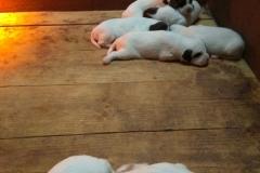 venta-cachorros-setter-becada-navarra-3