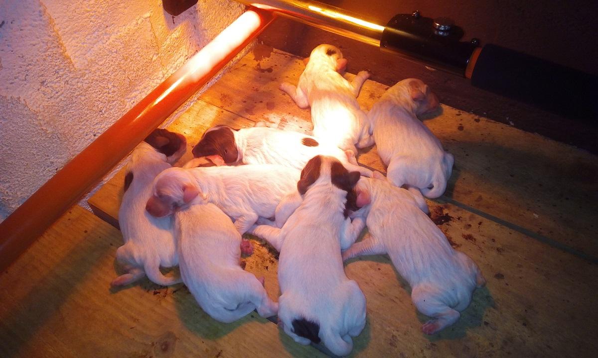 venta-cachorro-setter-becada-navarra-2