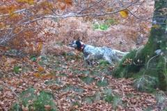 irimendi-cachorros-setter-caza-becada-navarra-venta-perros-7