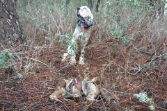 venta-cachorros-setter-becada-caza-navarra-29