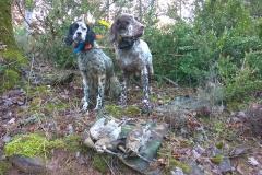 venta-cachorros-setter-becada-caza-navarra-30