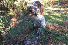 venta-cachorros-setter-becada-caza-navarra-33