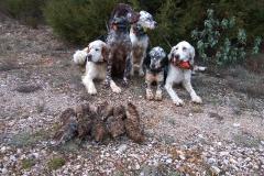 venta-cachorros-setter-becada-caza-navarra-37