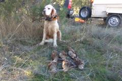 venta-cachorros-setter-becada-caza-navarra-41
