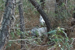 venta-cachorros-setter-becada-caza-navarra-46