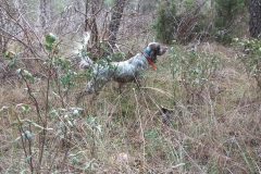 venta-cachorros-setter-becada-caza-navarra-47
