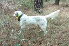 venta-cachorros-setter-becada-caza-navarra-49