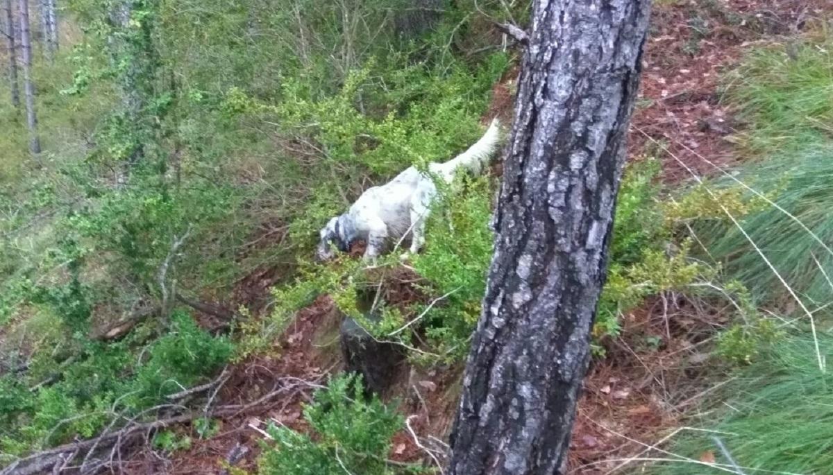 venta-cachorros-setter-becada-caza-navarra-31