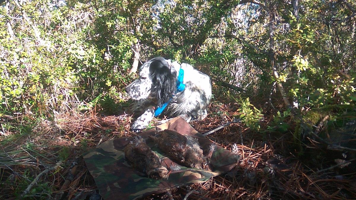 venta-cachorros-setter-becada-caza-navarra-32