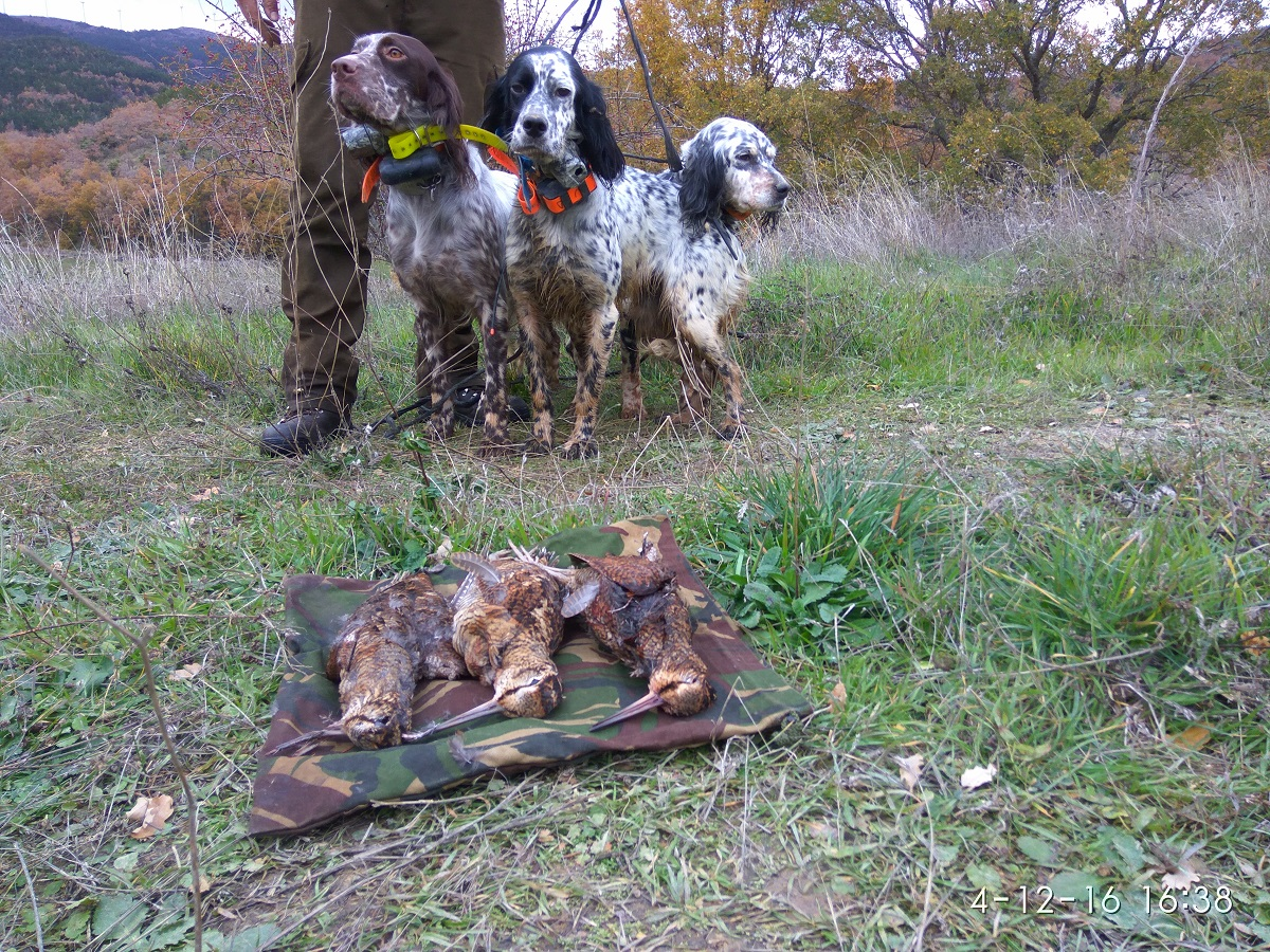 venta-cachorros-setter-becada-caza-navarra-34