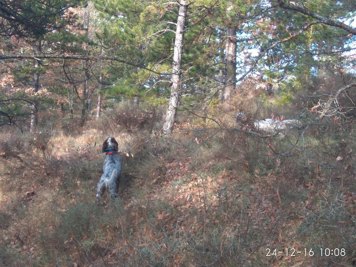 venta-cachorros-setter-becada-caza-navarra-43
