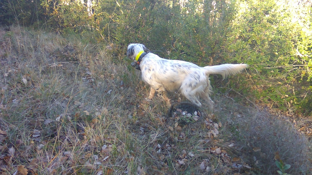 venta-cachorros-setter-becada-caza-navarra-45