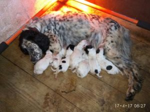 venta-cachorros-setter-becada-caza-navarra-irimendi-1
