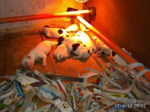 venta-cachorros-setter-becada-caza-navarra-irimendi-3