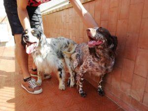 caza-setter-irimendi-becada-cachorros (6)
