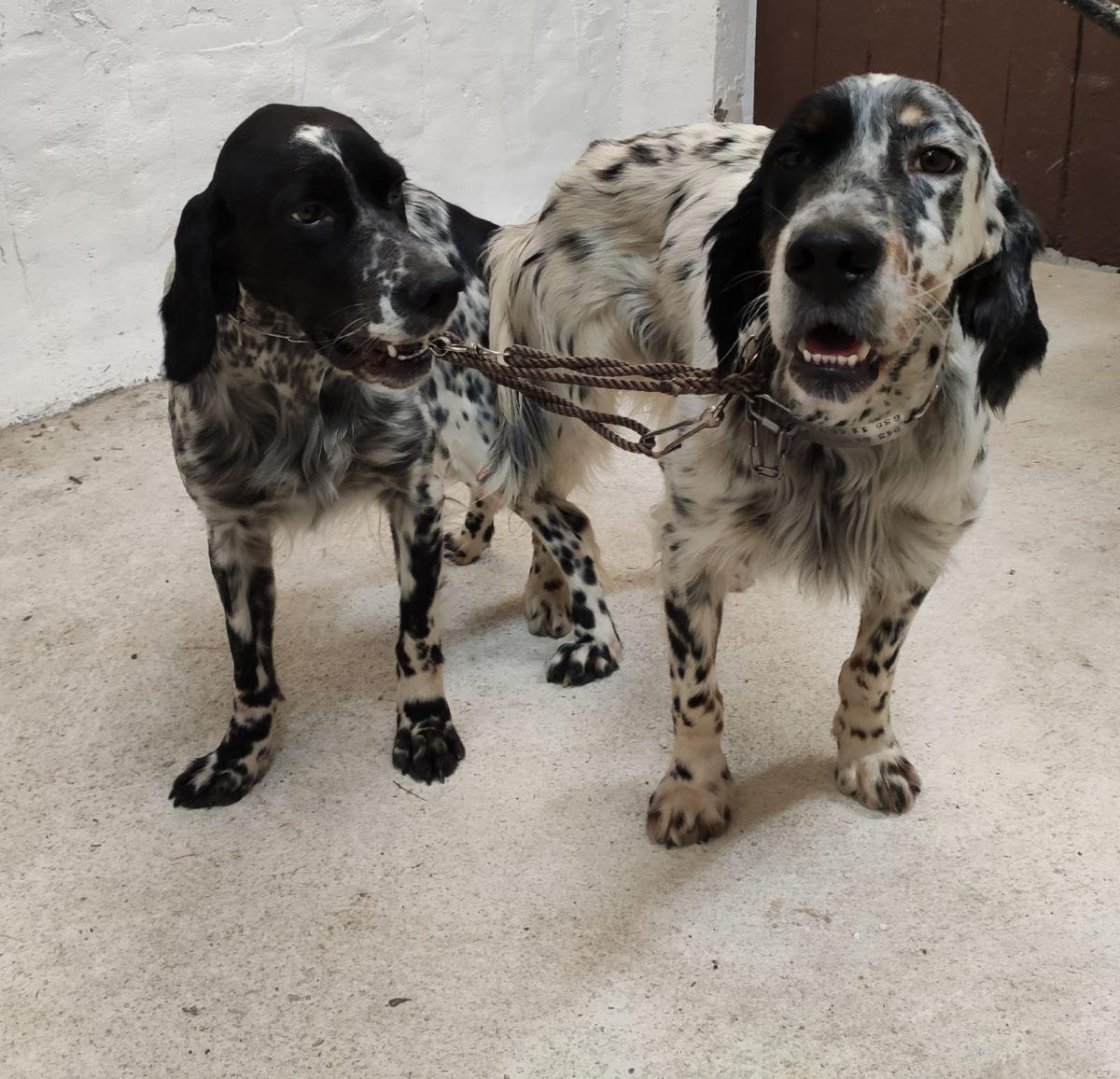 irimendisetter-caza-ehiza-becadas-oilagorrak-cachorros-perros